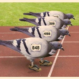 """Comb. De Jong/Winsemius eerste op traag verlopen concours!<br />P.V. de """"Vliegende Post vloog vanuit Bierges (Belgie)"""